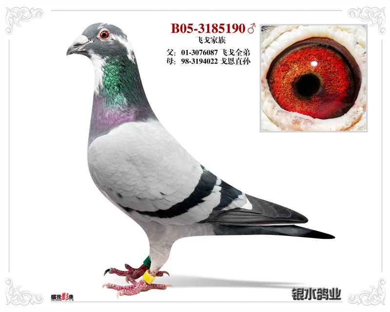 信鸽特征-飞戈平辈直子190