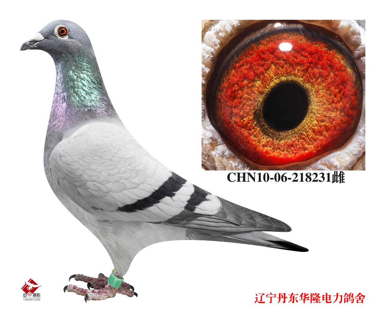 信鸽特征-俊主电脑戈马利配飞鸽直孙