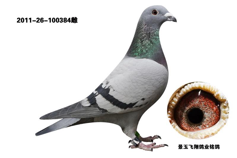 信鸽特征-飞翔速霸龙成绩鸽384图片