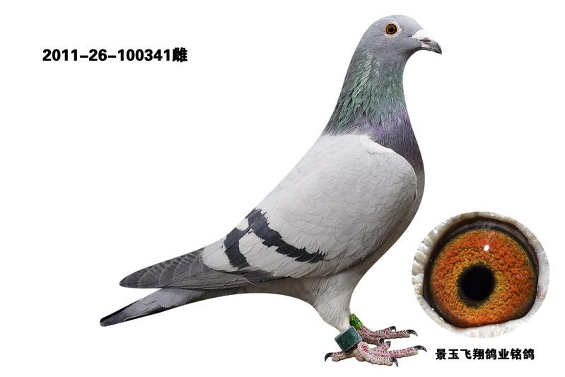 信鸽特征-飞翔速霸龙成绩鸽341图片