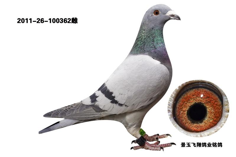 信鸽特征-飞翔鸽业速霸龙公棚赛绩鸽362图片