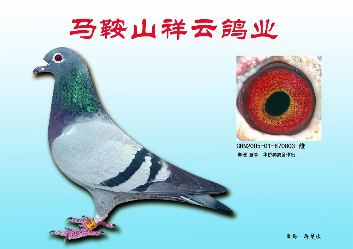 詹森830 詹森八大种鸽近血子代