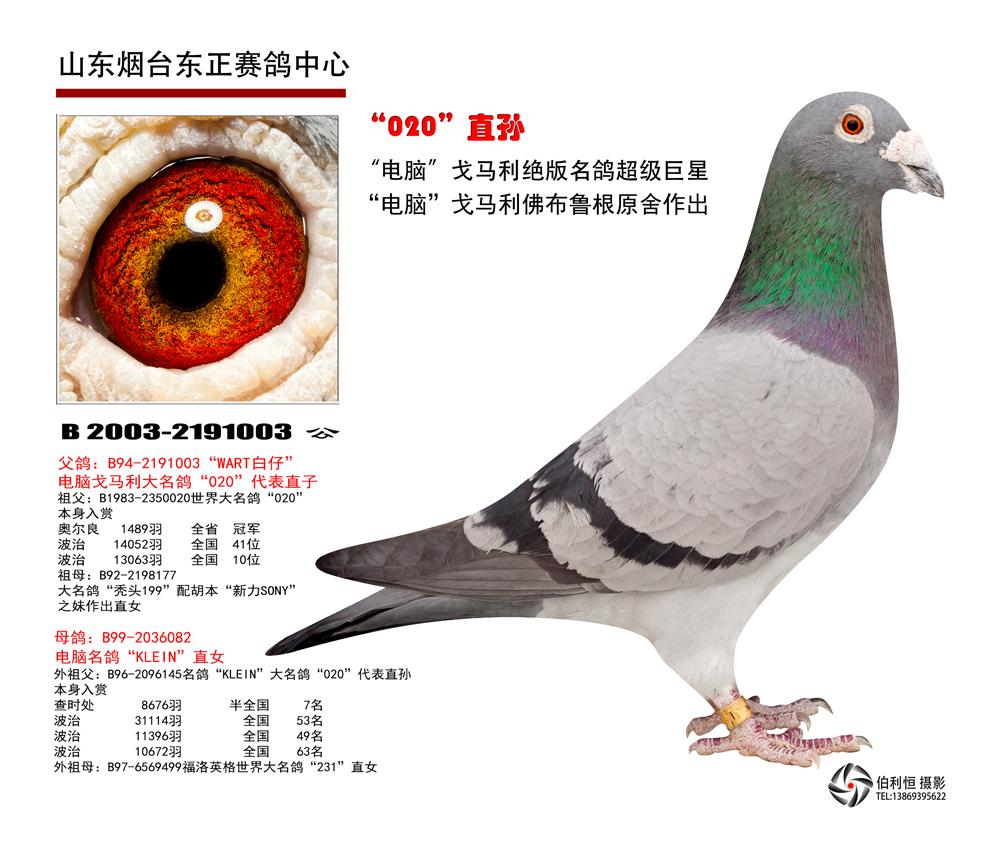 信鸽特征-电脑戈马利大铭鸽020直孙
