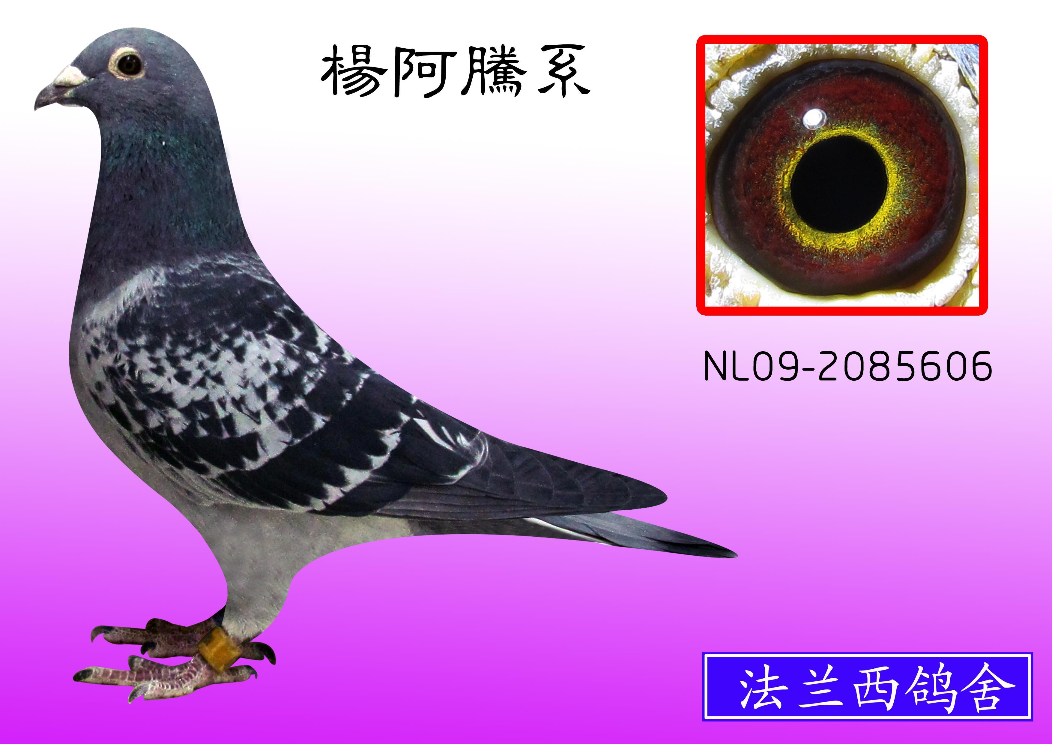 杨阿腾系多利号后代 纯欣赏 606