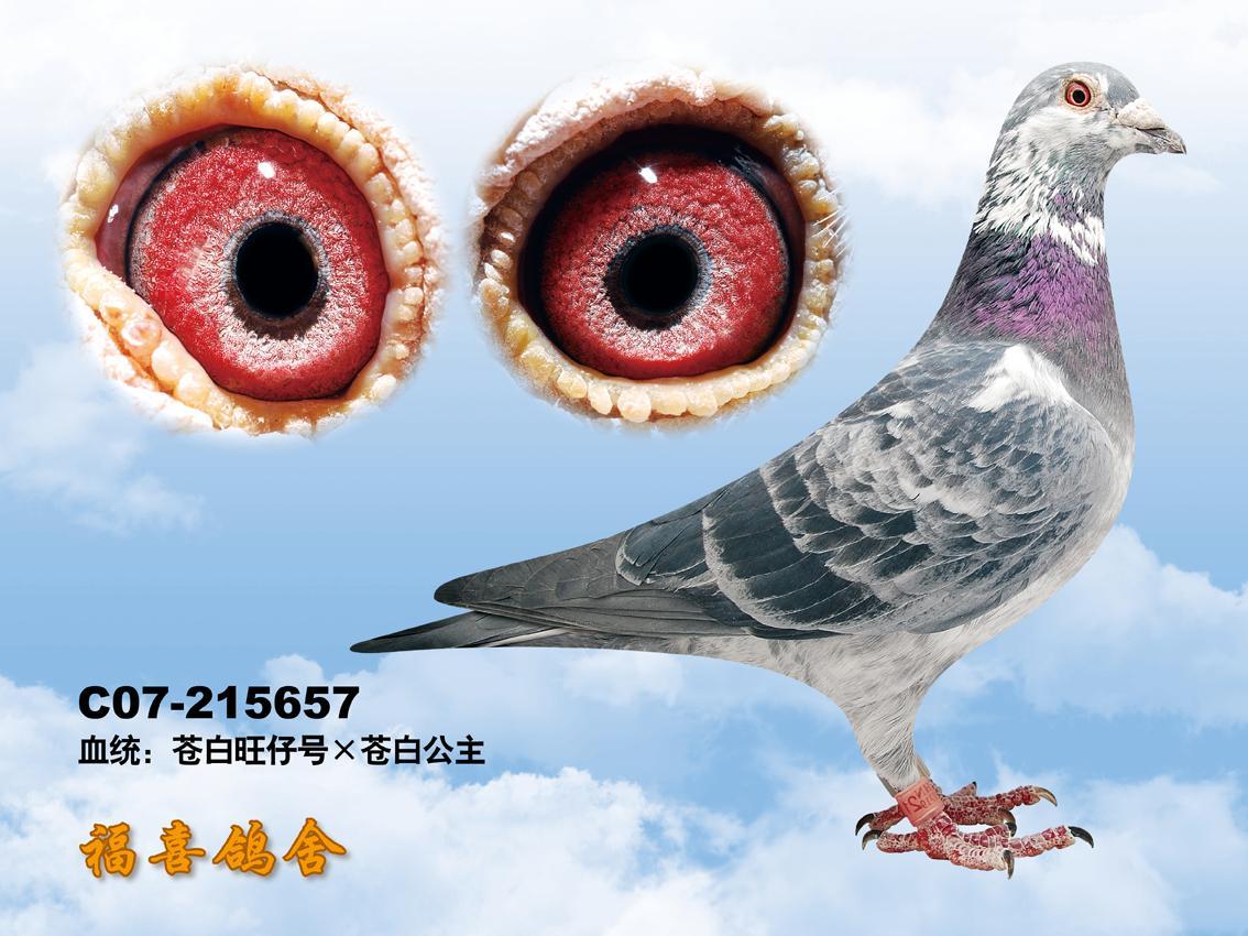 ; 白花鸽; 金日盛世摄影工作室--中国信鸽信息网鸽业大全