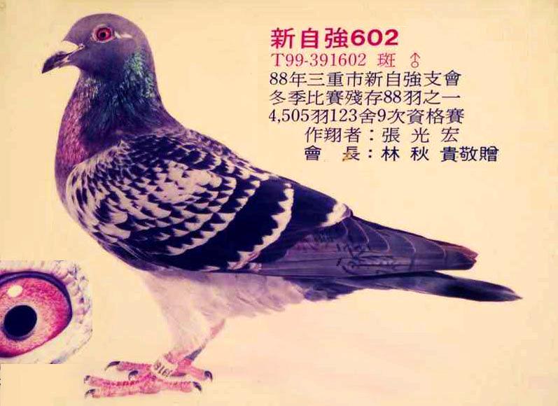 信鸽特征-台湾吉风鸽舍 红毛 在台获奖鸽