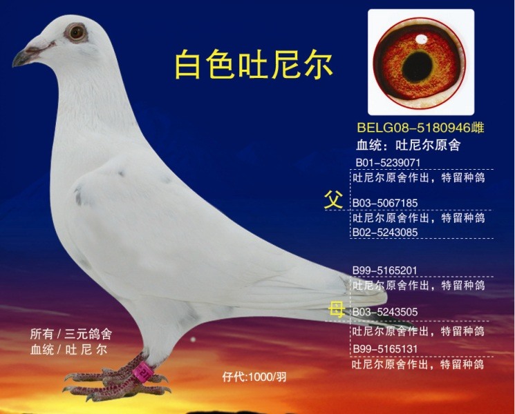 白色吐尼尔_江苏三元鸽舍_ ag188.com爱鸽商城_中国