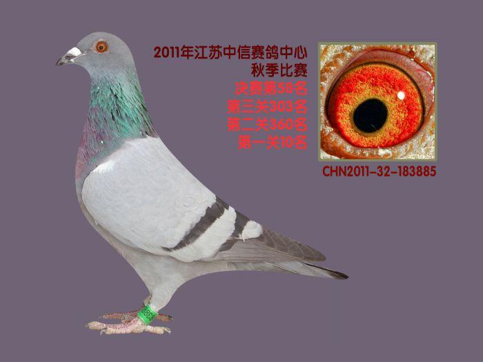 信鸽公棚设计图片