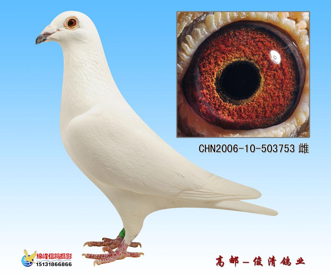 台湾鸽棚设计图_苍白骑士信鸽的特征 苍白骑士信鸽 苍白骑士信鸽配对图片