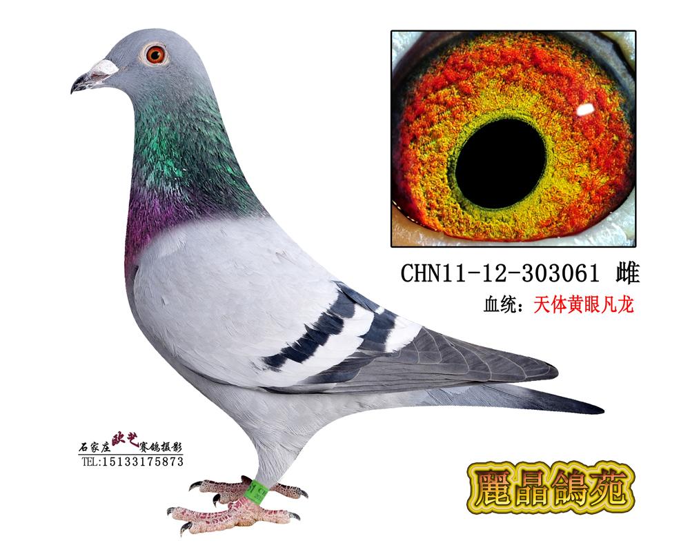 信鸽特征-天体黄眼凡龙061