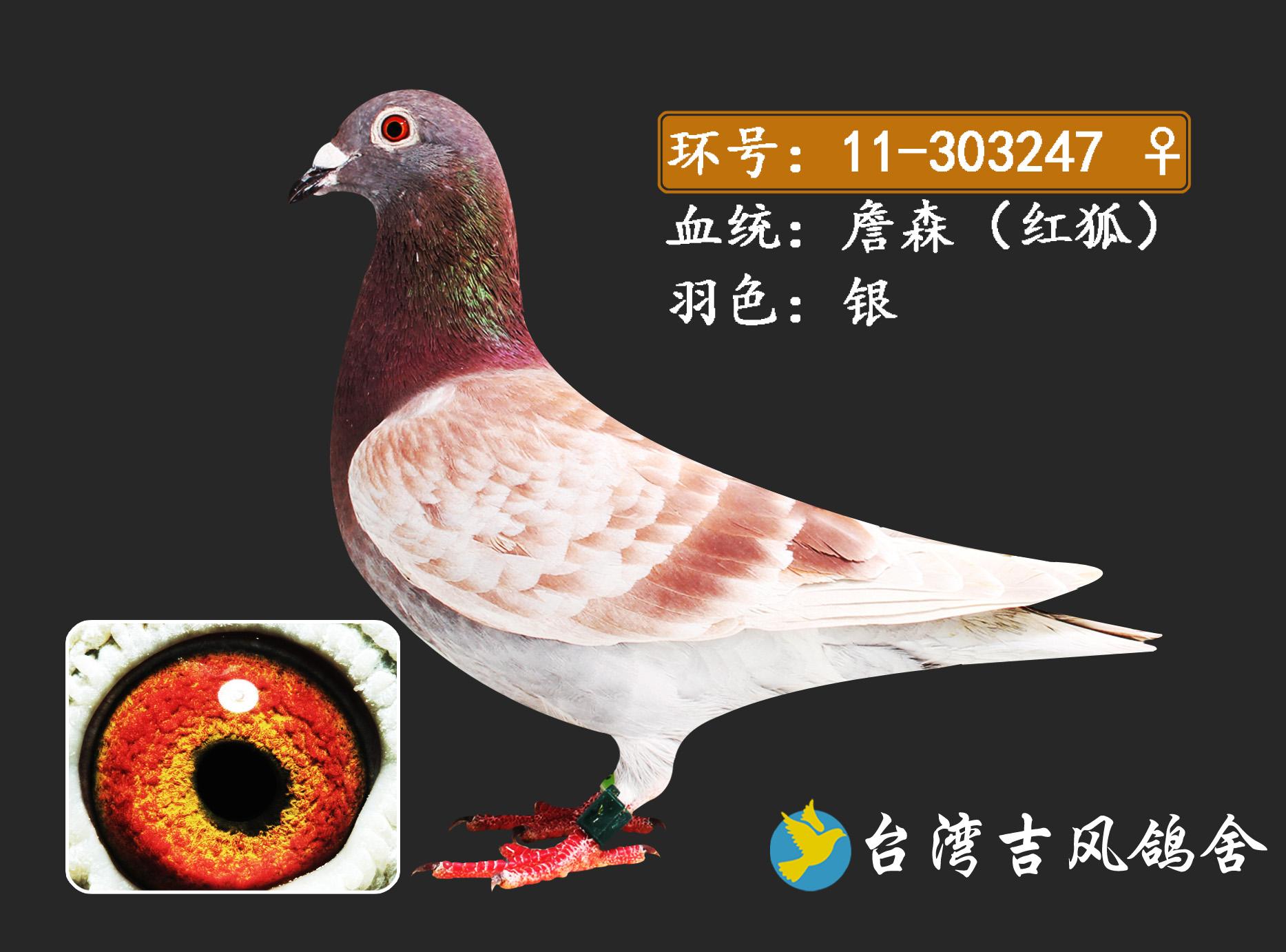 design 信鸽眼沙图片展示_信鸽眼沙相关图片下载  詹森信鸽图片展示图片