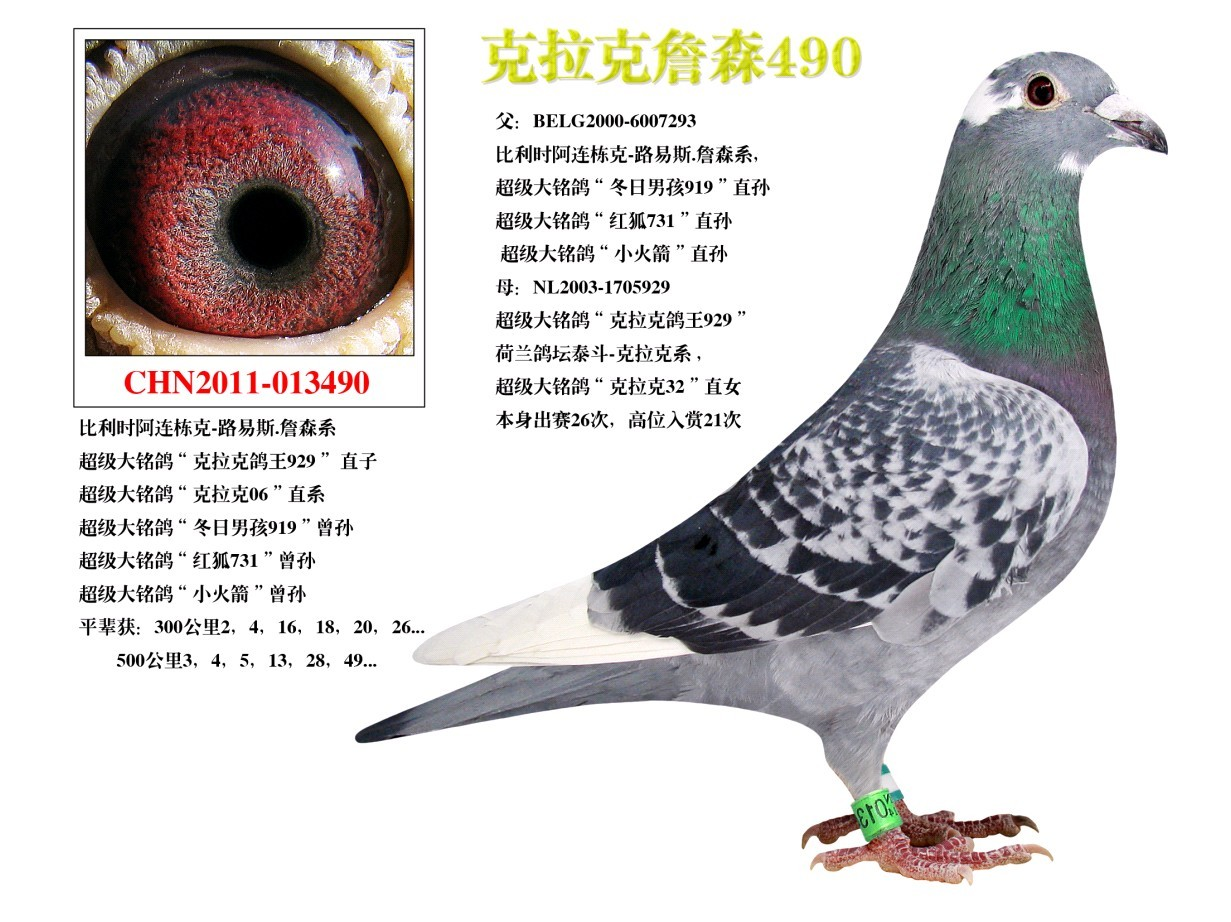 克拉克詹森信鸽图片展示图片