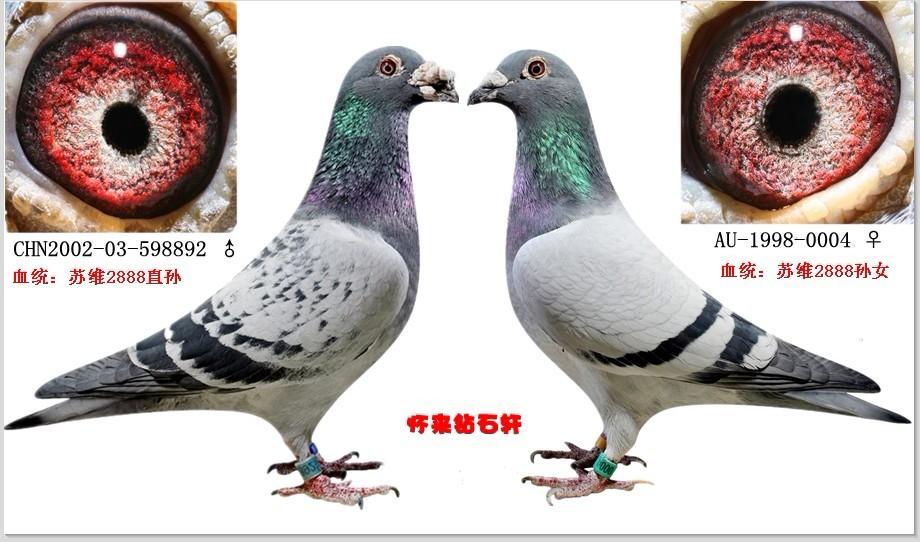 信鸽 鸽 眼 配对 外-鸽詹森眼志配对桑杰士 桑杰士冠军鸽图片 杨啊腾