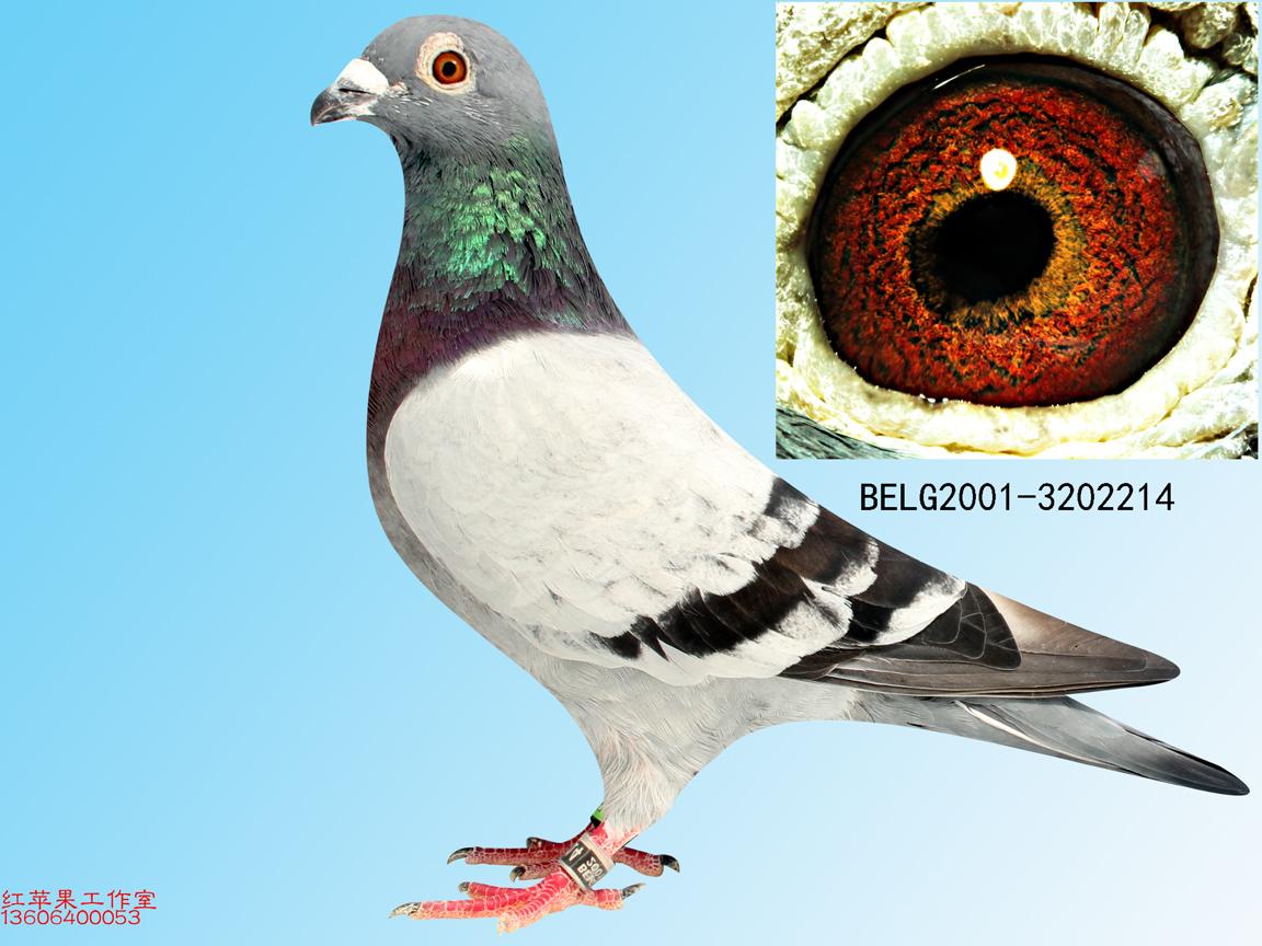台湾信鸽鸽棚图片