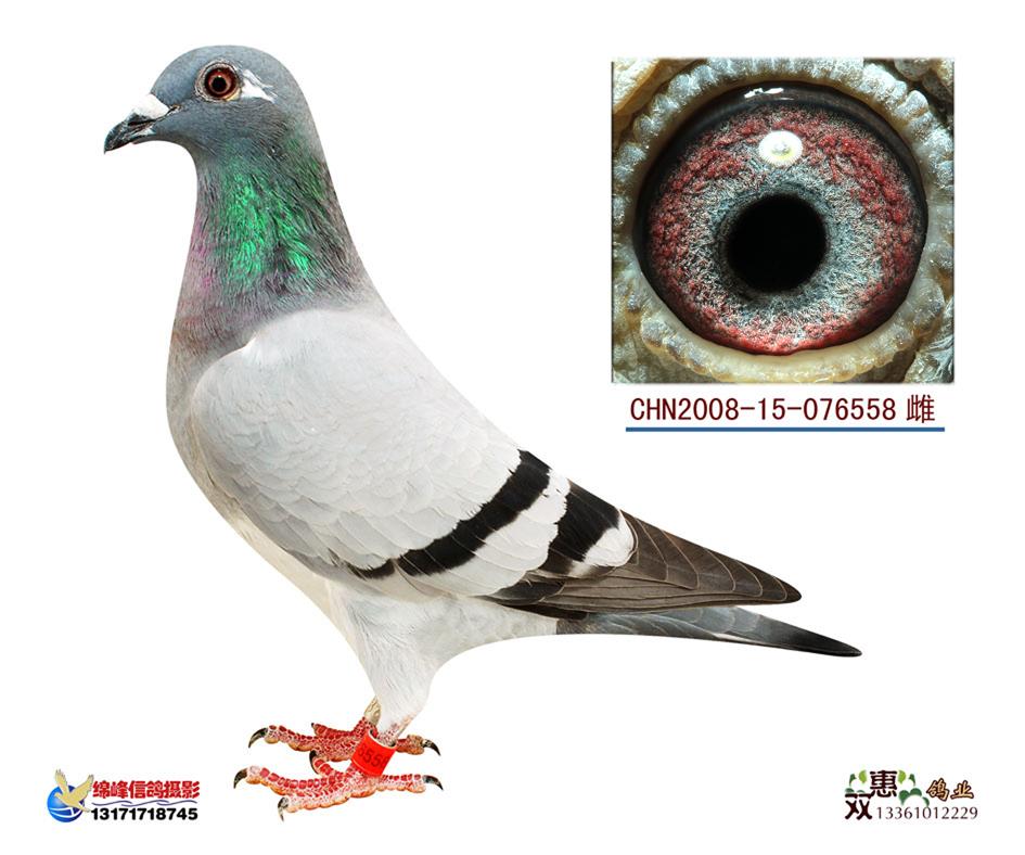 信鸽特征-电脑戈马利008大脚趾维龙直孙女558