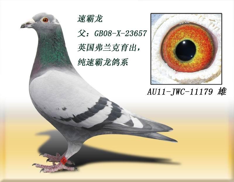 速霸龙179 得元林海信鸽养殖中心图片