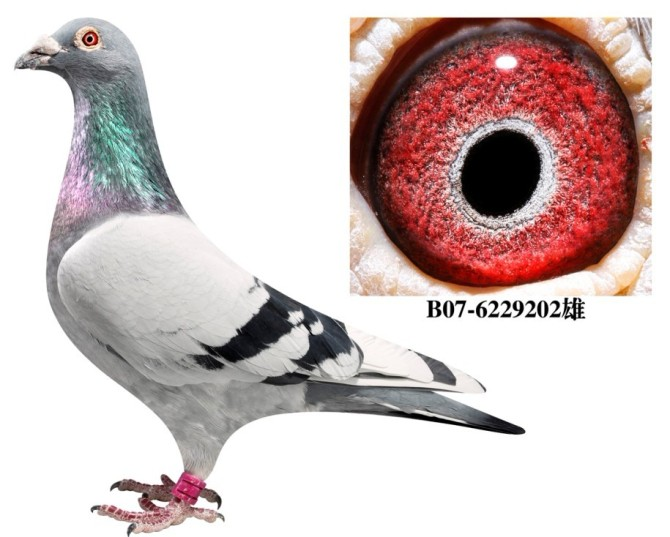 灰白条桑杰士 哈尔滨龙庆鸽业图片