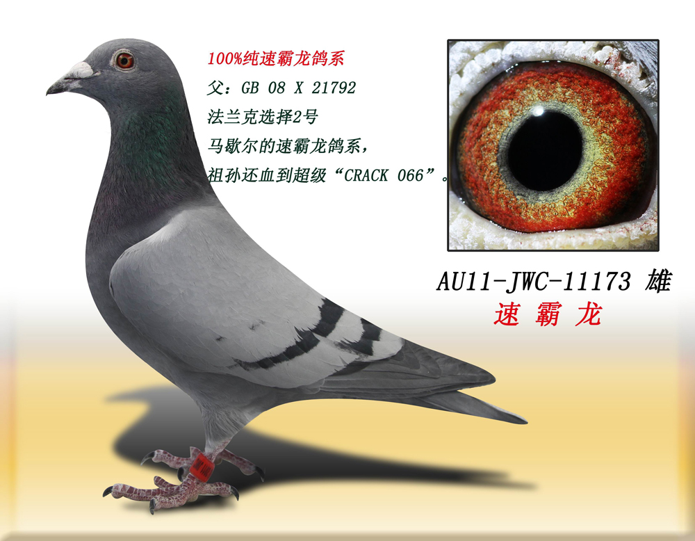 速霸龙173 得元林海信鸽养殖中心图片