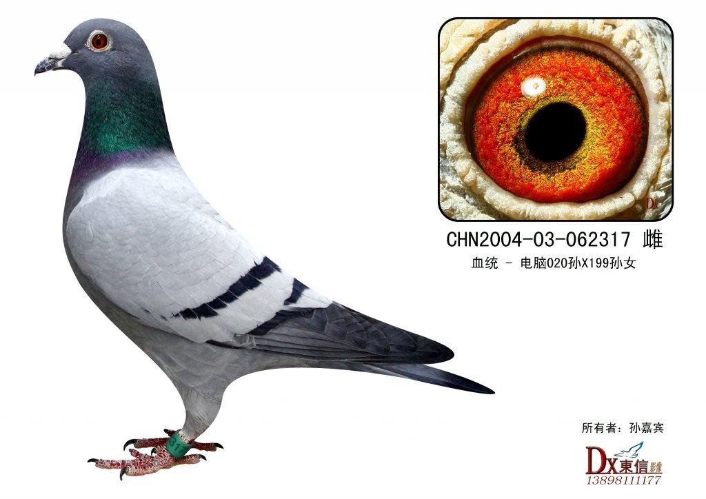 信鸽特征-电脑020直孙X电脑199直孙女