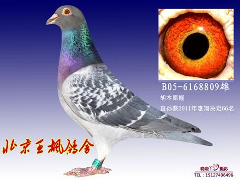 王枫 胡本 信鸽