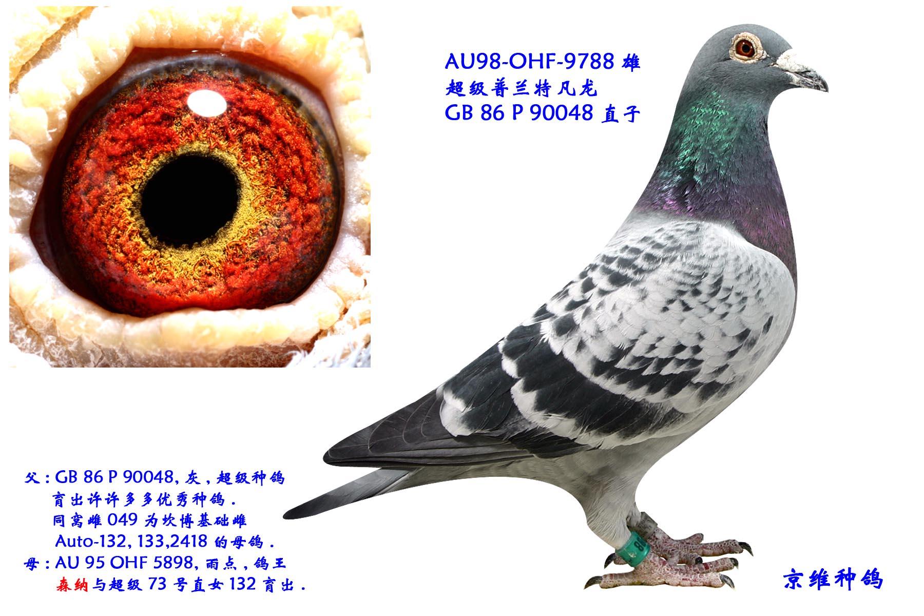 超级9788 北京京维种鸽养殖中心