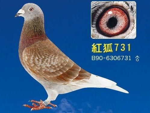 红狐731直子 北京巅峰鸽舍