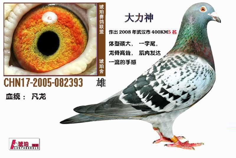 信鸽特征-已售郑州侯先生 凡龙 大力神