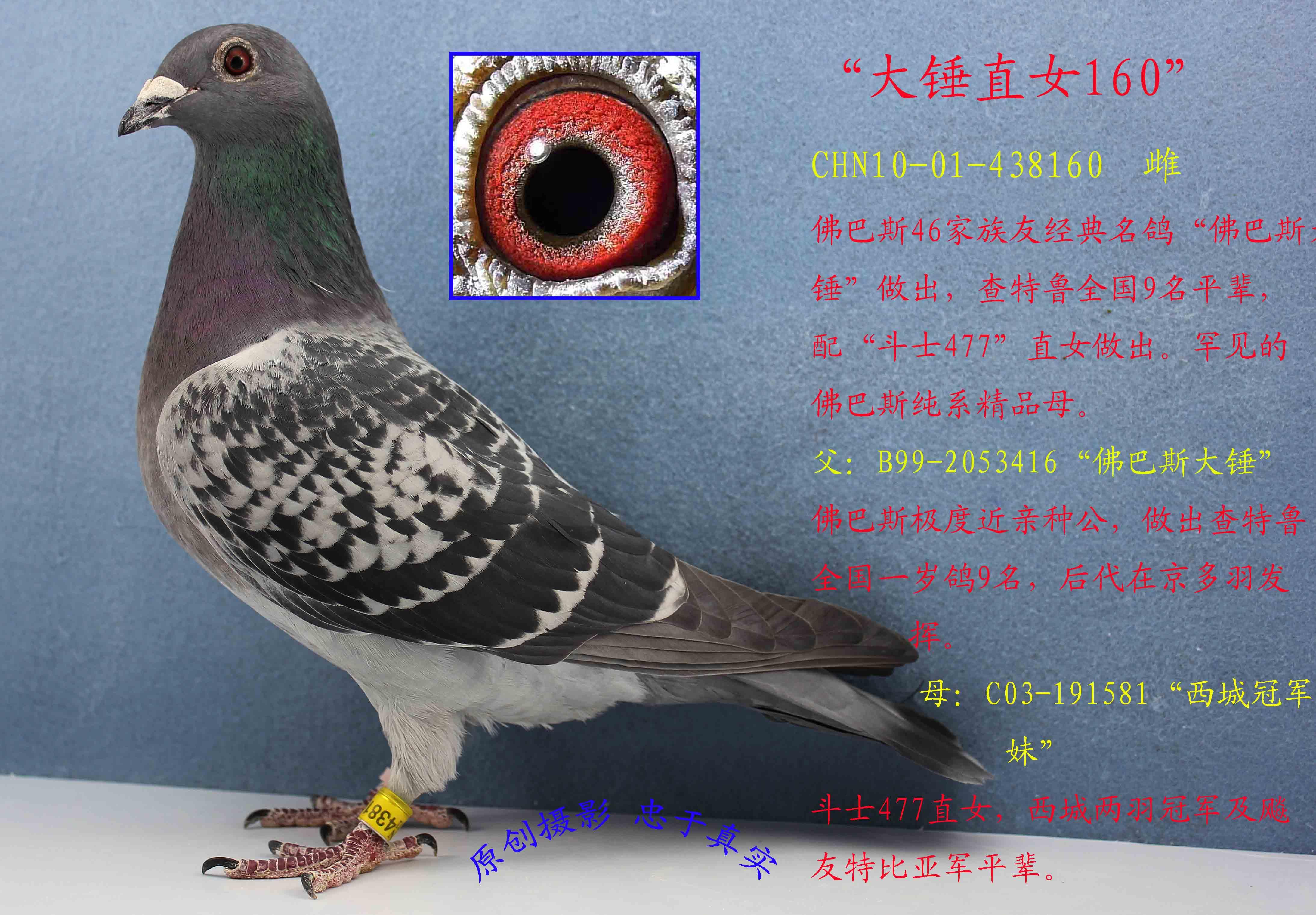 鸟类鸽动物教学外卖鸟鸽子4374_3042图示里面有苍蝇卵图片