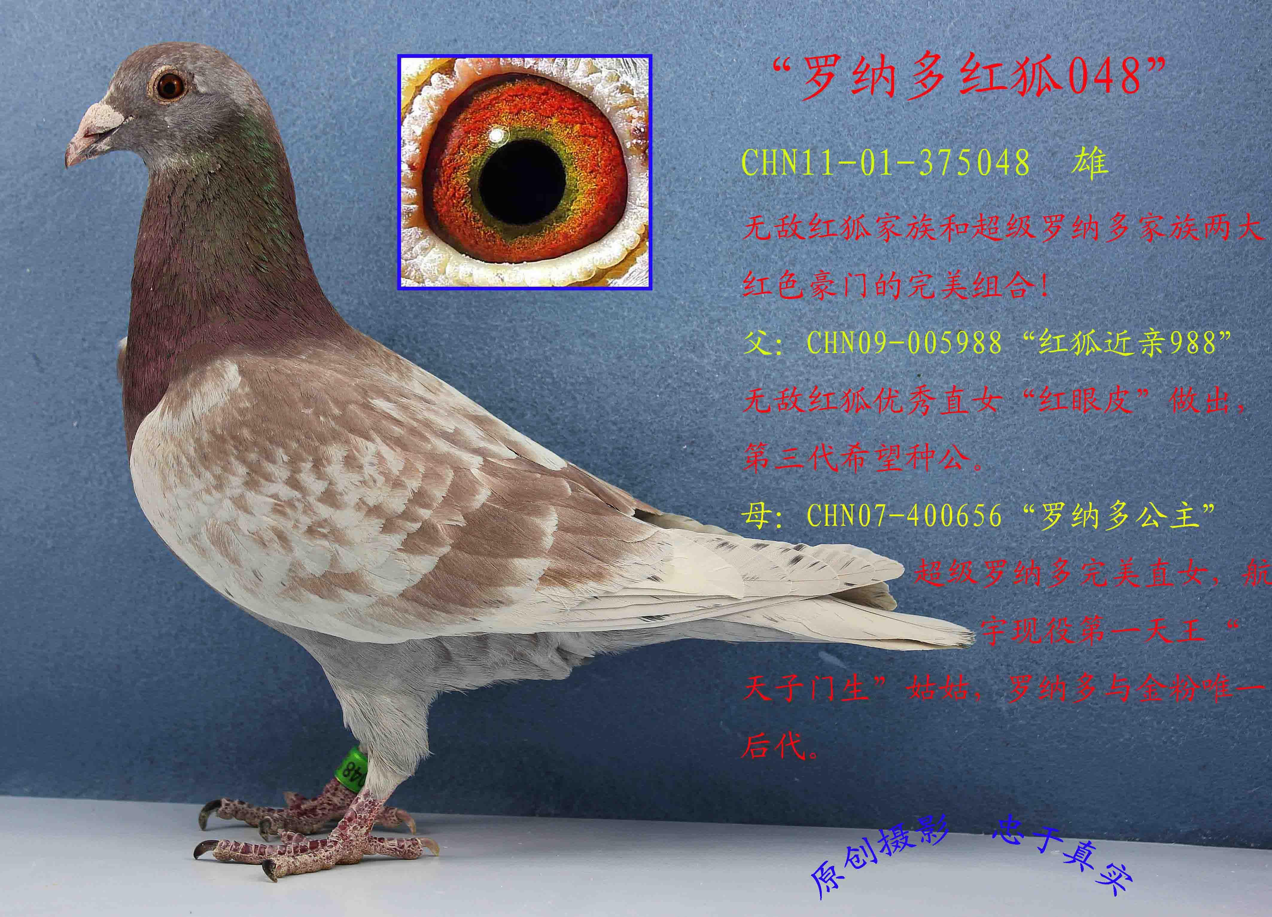 信鴿鼻子鑒別帶圖解