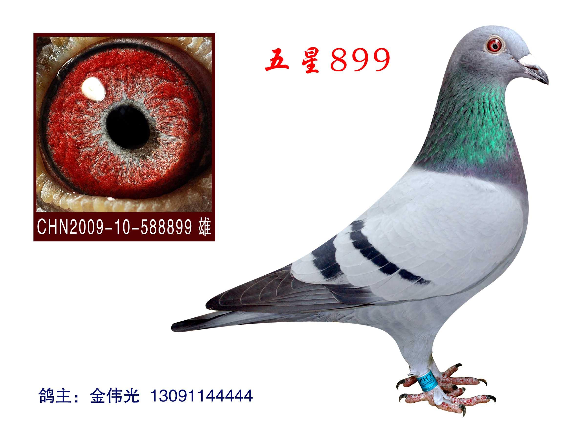 信鸽特征-电脑戈马利教父高度近亲回血鸽