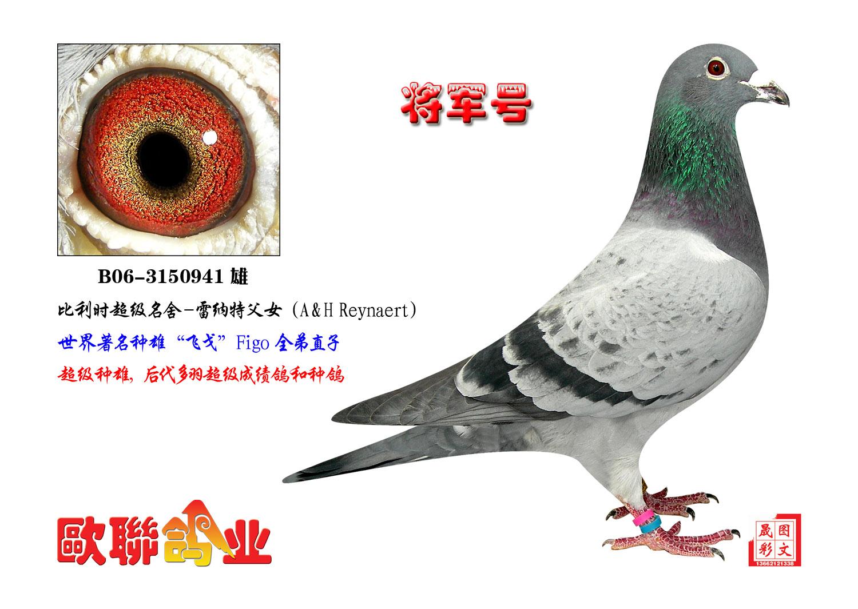 信鸽特征-飞戈家族 将军号