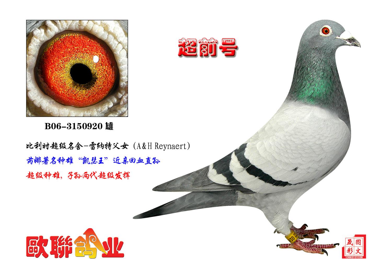 信鸽特征-飞戈家族 超前号