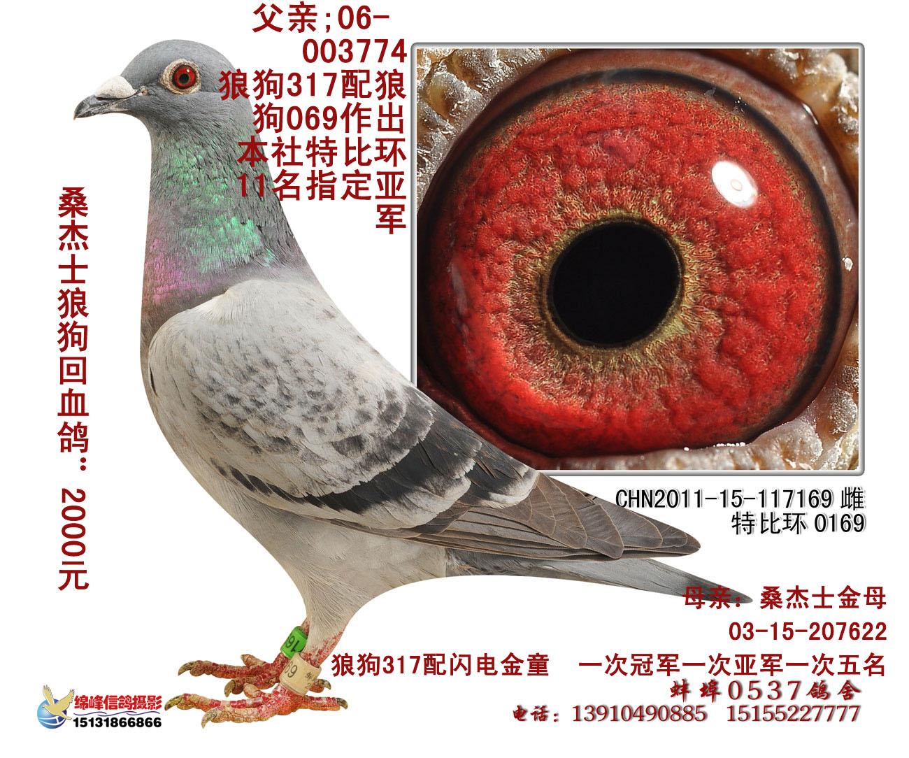 信鸽特征-狼狗配金童 117169