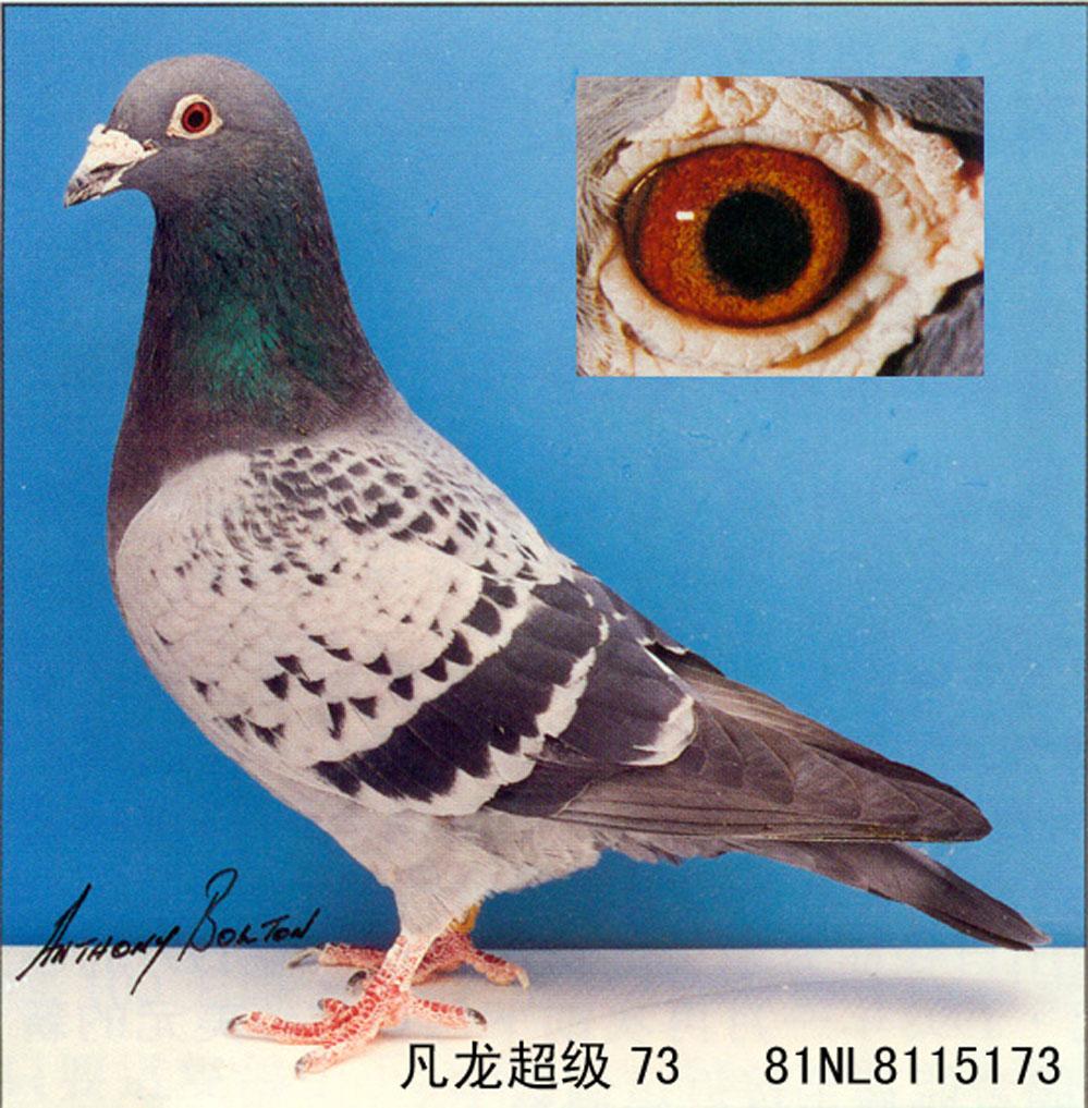 信鸽特征-世界铭鸽 凡龙超级73