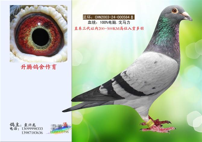 信鸽特征-电脑584 袁兴龙赛鸽