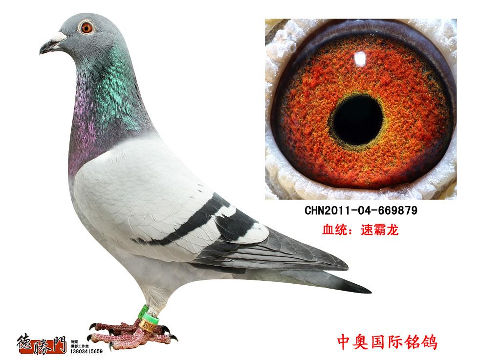 速霸龙 家族金环幼鸽669879图片