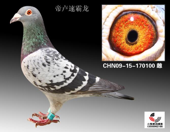 信鸽特征-帝卢速霸龙 翔荣赛鸽图片