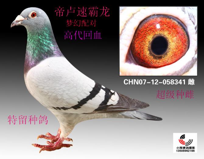 帝卢速霸龙 翔荣赛鸽图片