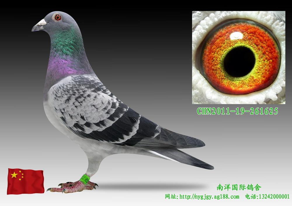 信鸽特征-凡龙 1625 南洋国际鸽舍