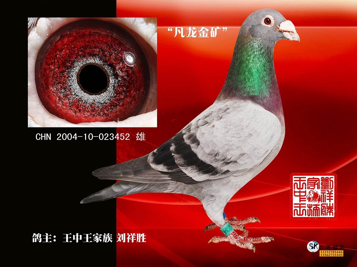 信鸽特征-凡龙金矿 钻石种公