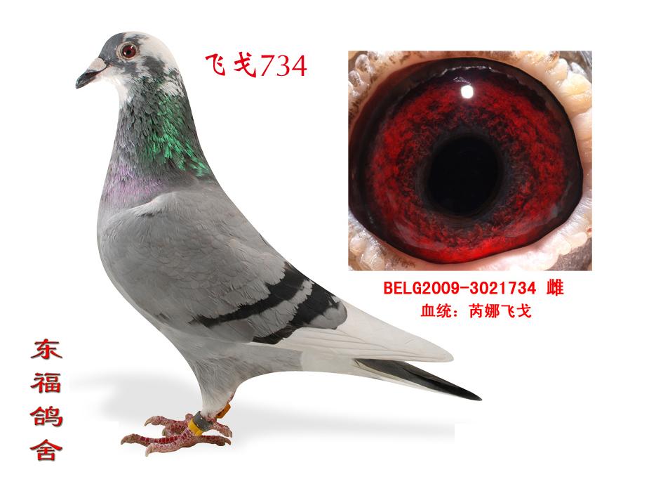 信鸽特征-飞戈734 东福铭鸽