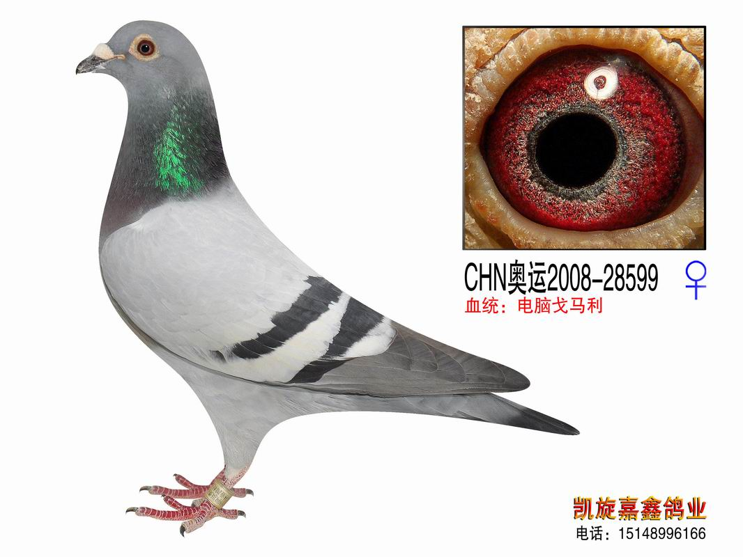 信鸽特征-超级电脑 内蒙古凯旋嘉鑫鸽业