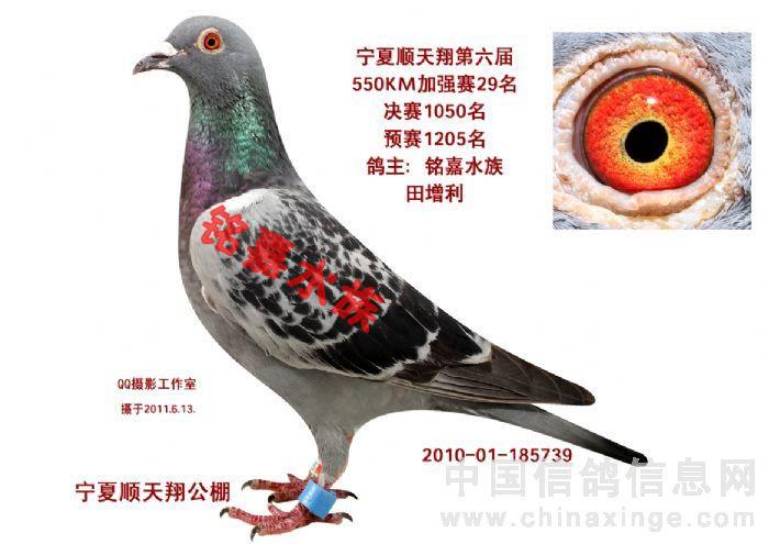 信鸽特征-凡龙 铭嘉水族