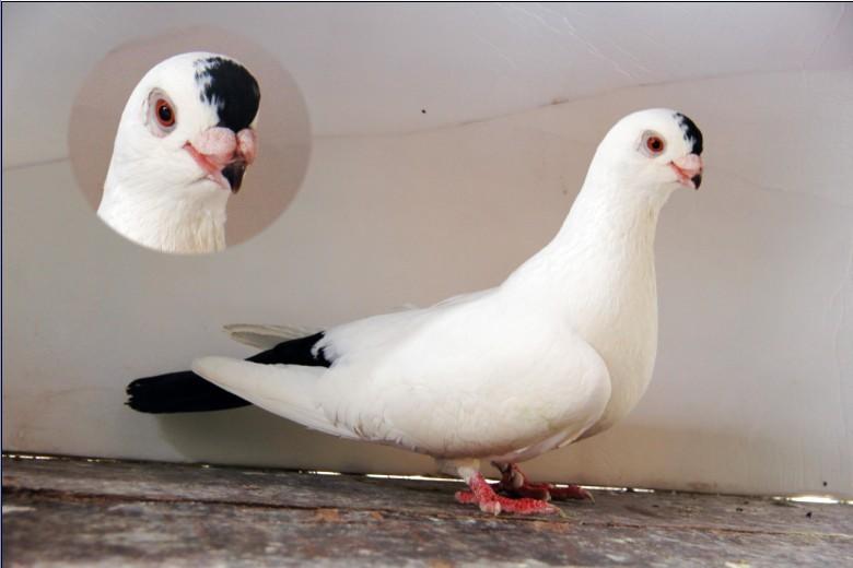 观赏鸽点子图片_北京观赏鸽点子_观赏鸽点子_观赏鸽点子图片h_三角牛