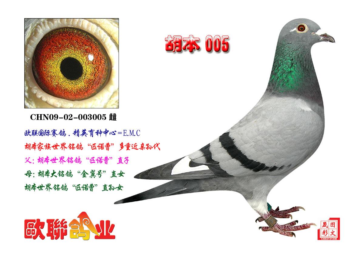 胡本 信鸽 种鸽
