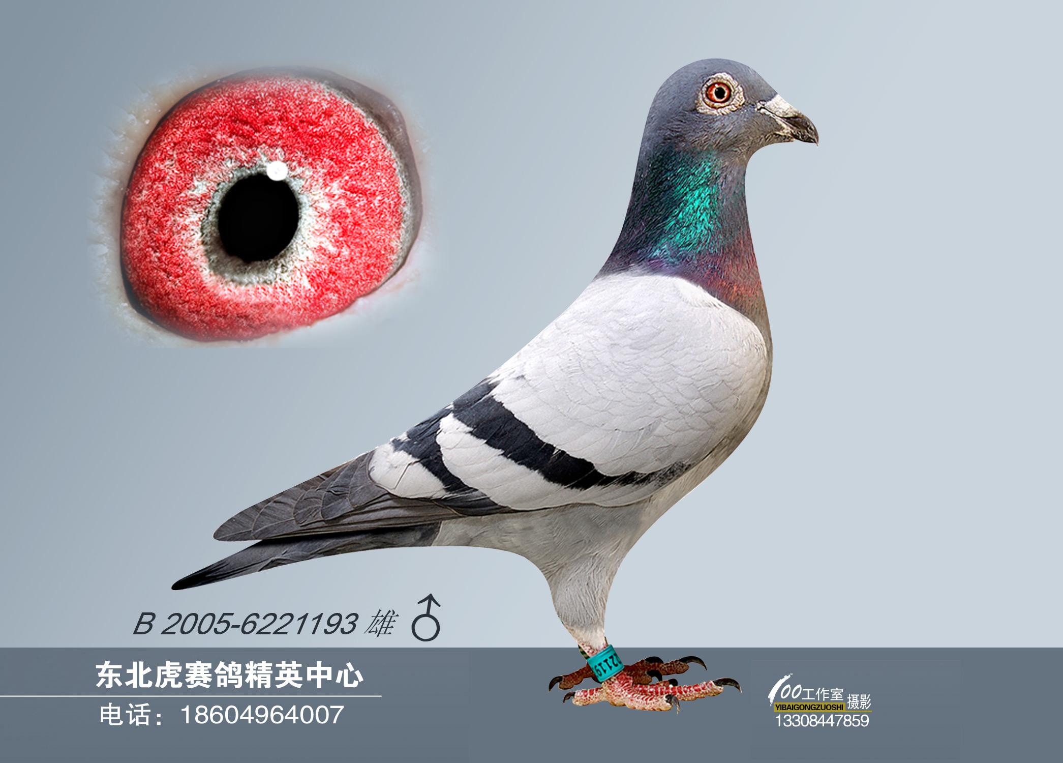 动物 鸽 鸽子 教学图示 鸟 鸟类 2091_1500