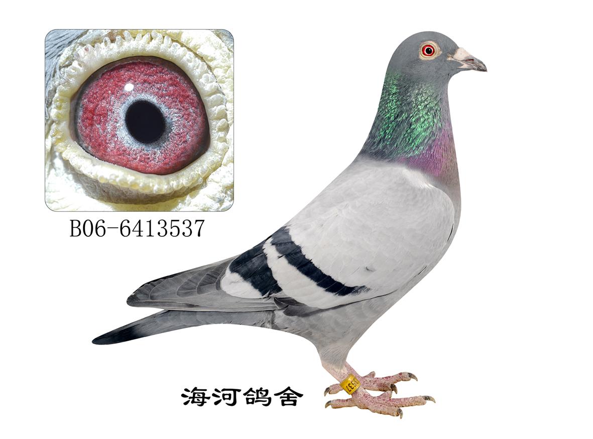 信鸽特征-凡龙 天津海河鸽舍