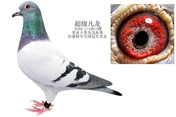 凡龙信鸽眼睛特点图片