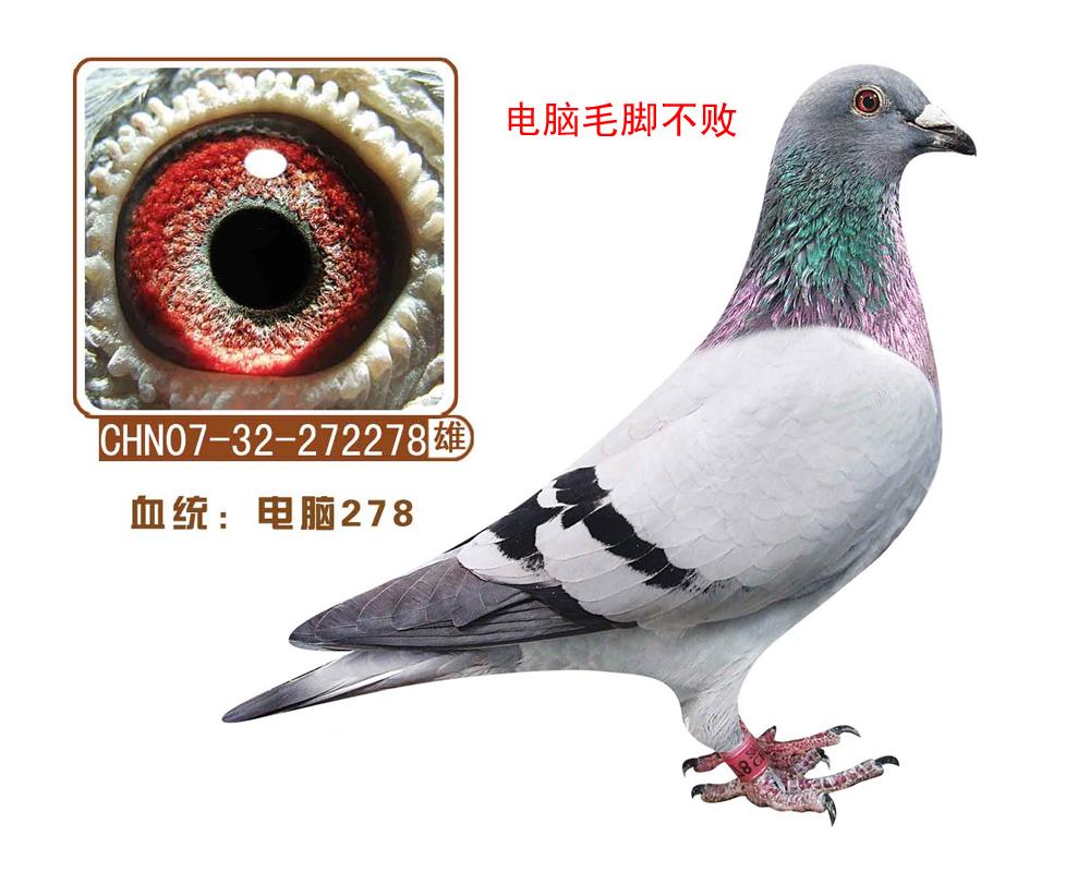 信鸽特征-电脑278 电脑毛脚不败