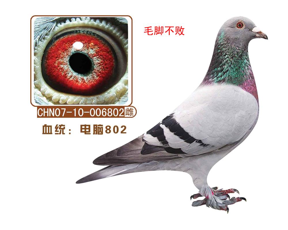 信鸽特征-电脑802 电脑毛脚不败